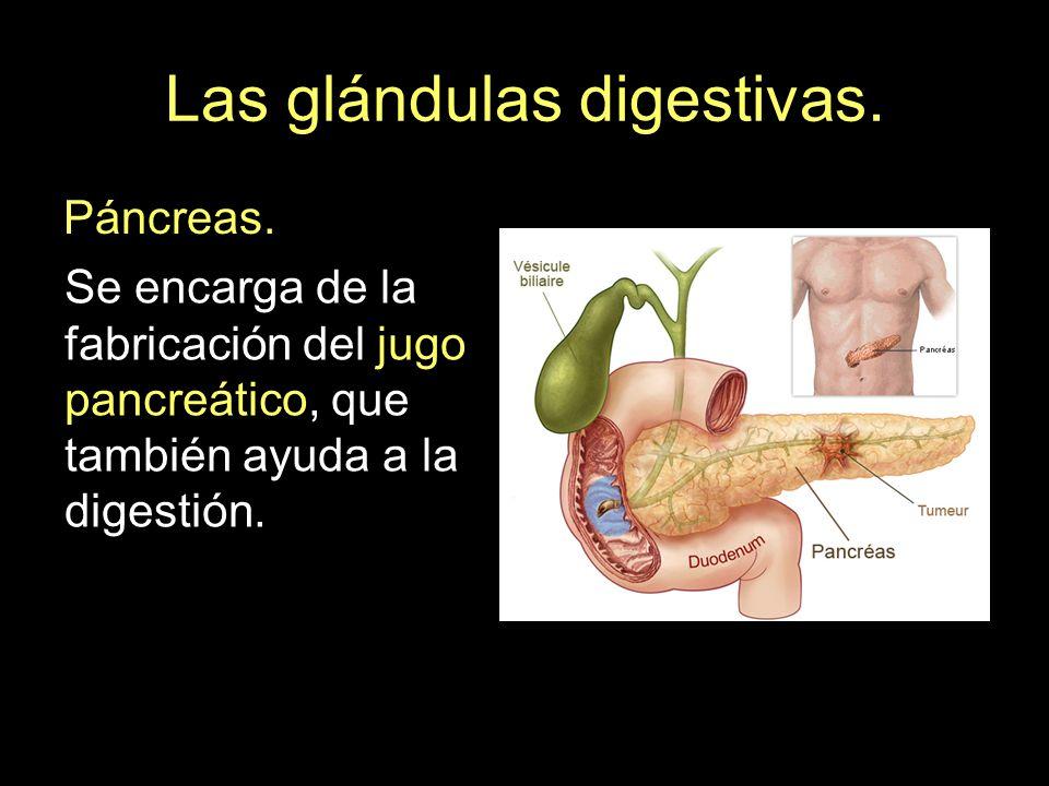 Las glándulas digestivas. Páncreas. Se encarga de la fabricación del jugo pancreático, que también ayuda a la digestión.