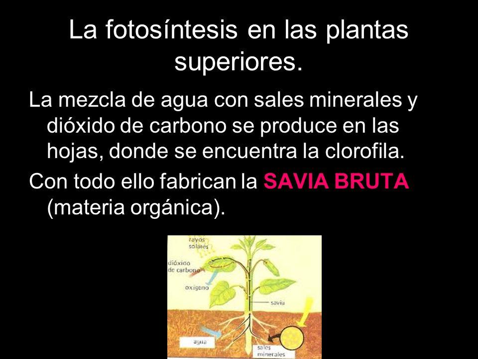 La fotosíntesis en las plantas superiores.¿Cómo llegan todas estas sustancias a las hojas.