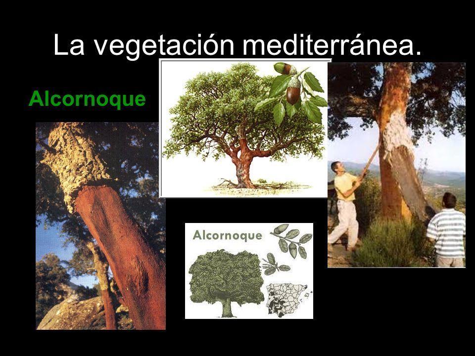 La vegetación mediterránea. Alcornoque
