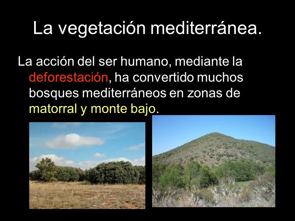 La vegetación mediterránea. La acción del ser humano, mediante la deforestación, ha convertido muchos bosques mediterráneos en zonas de matorral y mon