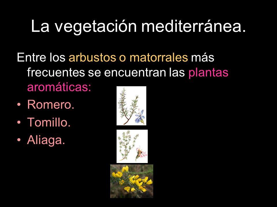 Entre los arbustos o matorrales más frecuentes se encuentran las plantas aromáticas: Romero. Tomillo. Aliaga.