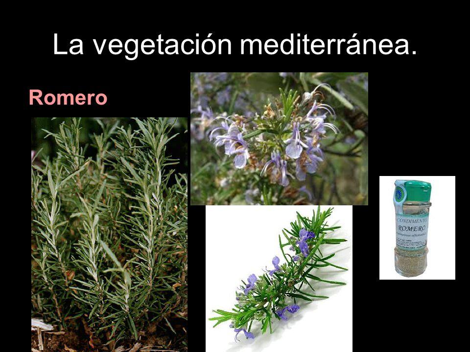 La vegetación mediterránea. Romero