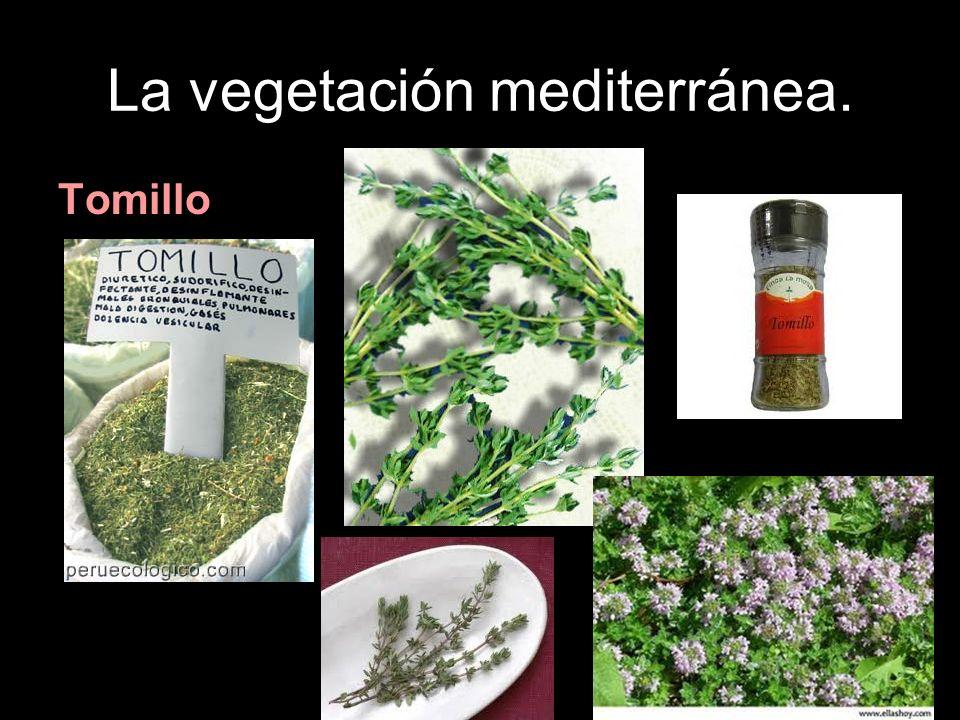 La vegetación mediterránea. Tomillo