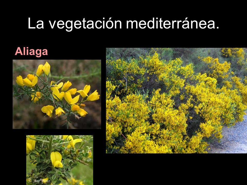 La vegetación mediterránea. Aliaga