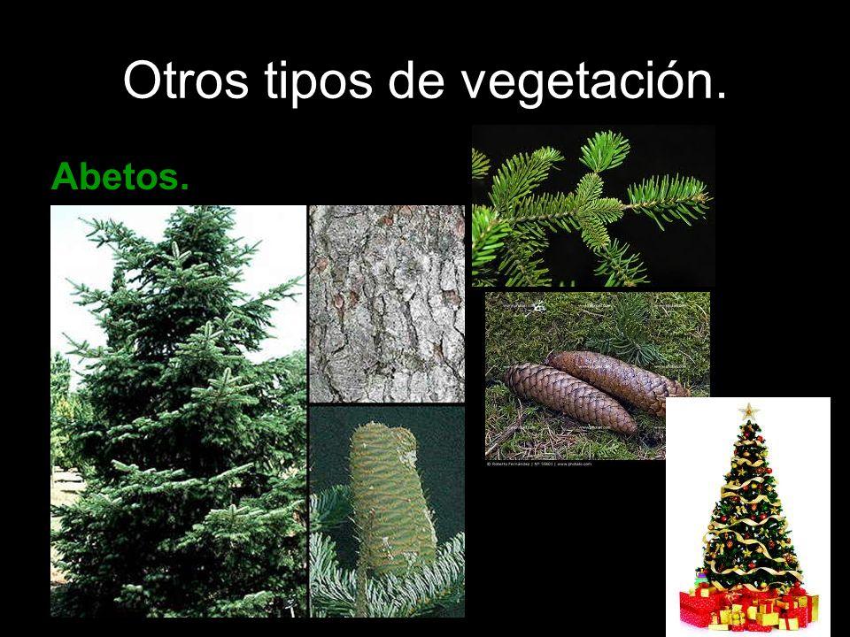 Otros tipos de vegetación. Abetos.