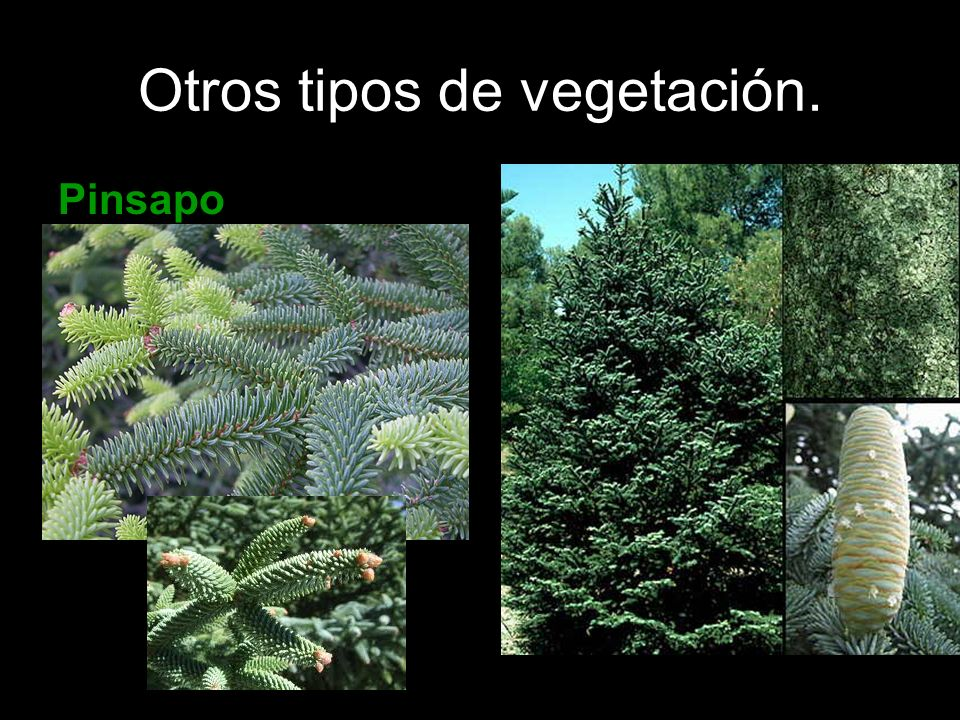 Otros tipos de vegetación. Pinsapo