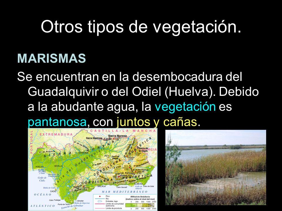 MARISMAS Se encuentran en la desembocadura del Guadalquivir o del Odiel (Huelva). Debido a la abudante agua, la vegetación es pantanosa, con juntos y