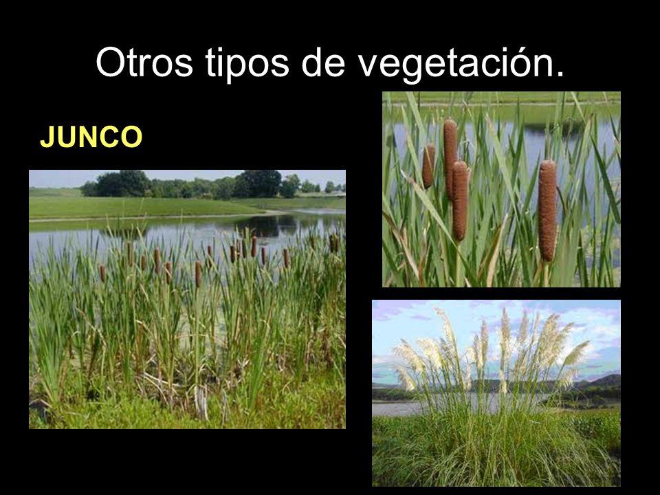 Otros tipos de vegetación. JUNCO