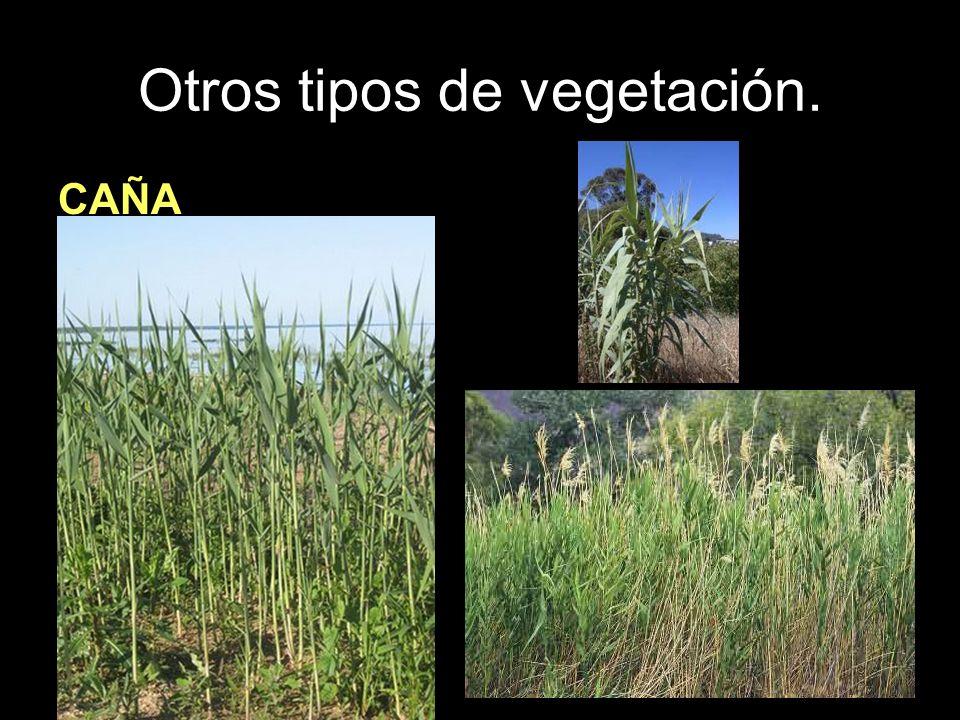 Otros tipos de vegetación. CAÑA