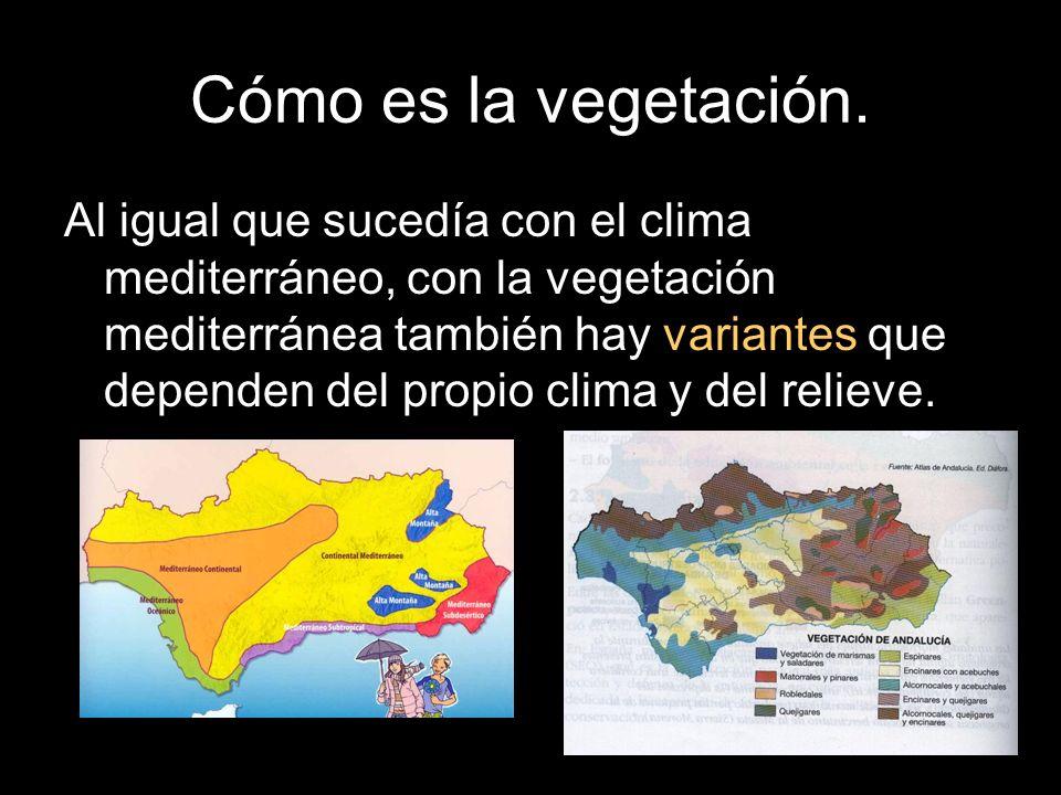 Cómo es la vegetación. Al igual que sucedía con el clima mediterráneo, con la vegetación mediterránea también hay variantes que dependen del propio cl