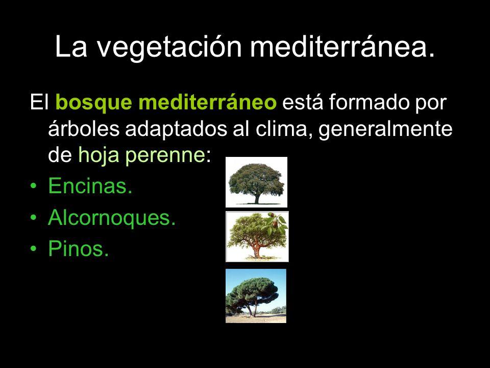 La vegetación mediterránea. El bosque mediterráneo está formado por árboles adaptados al clima, generalmente de hoja perenne: Encinas. Alcornoques. Pi
