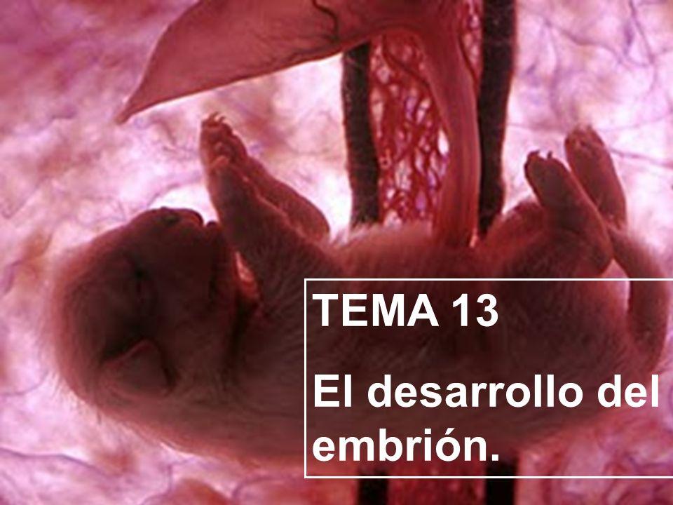 TEMA 13 El desarrollo del embrión.