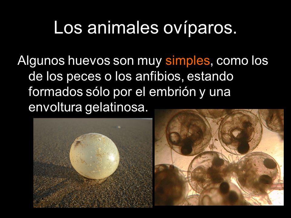 Algunos huevos son muy simples, como los de los peces o los anfibios, estando formados sólo por el embrión y una envoltura gelatinosa.