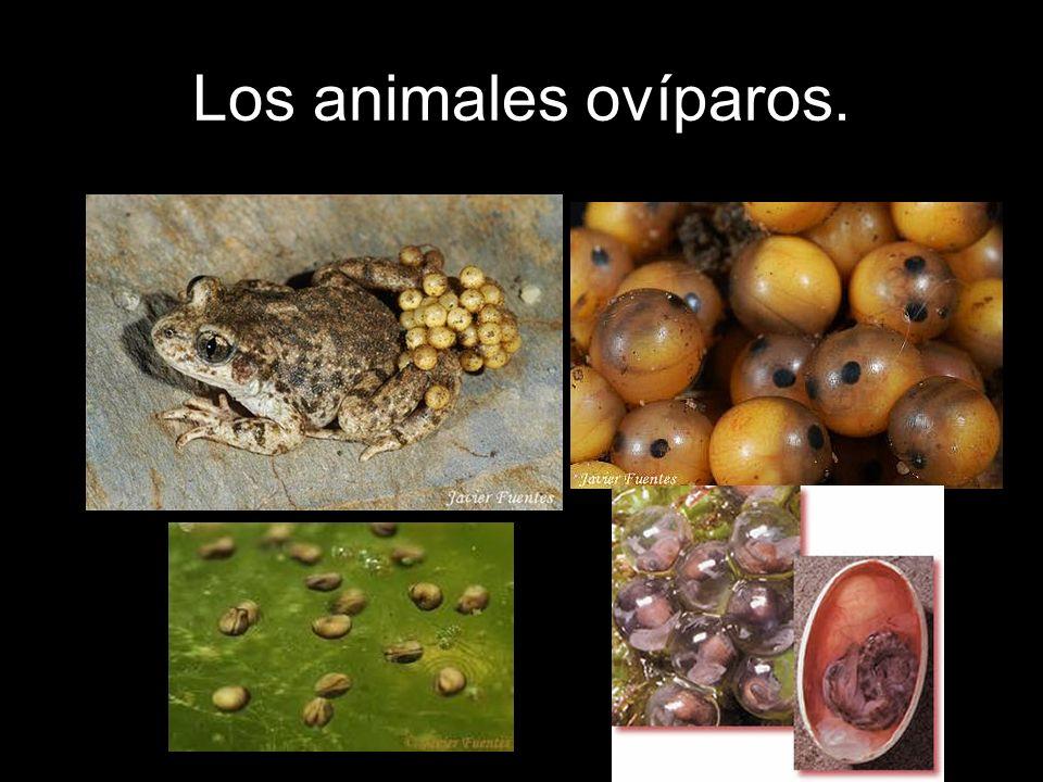Otros huevos son más complejos y de mayor tamaño.Es el caso de los reptiles y las aves.