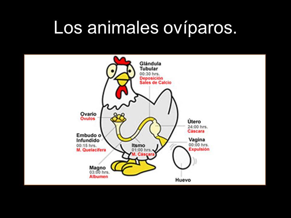 Los animales ovíparos