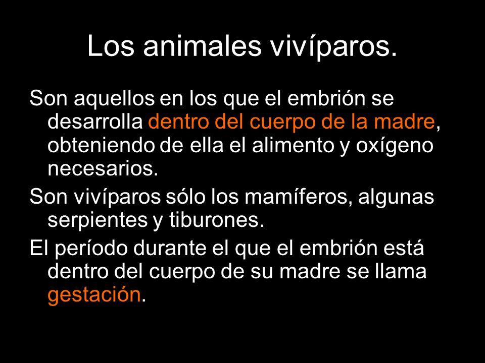 Los animales vivíparos. Son aquellos en los que el embrión se desarrolla dentro del cuerpo de la madre, obteniendo de ella el alimento y oxígeno neces