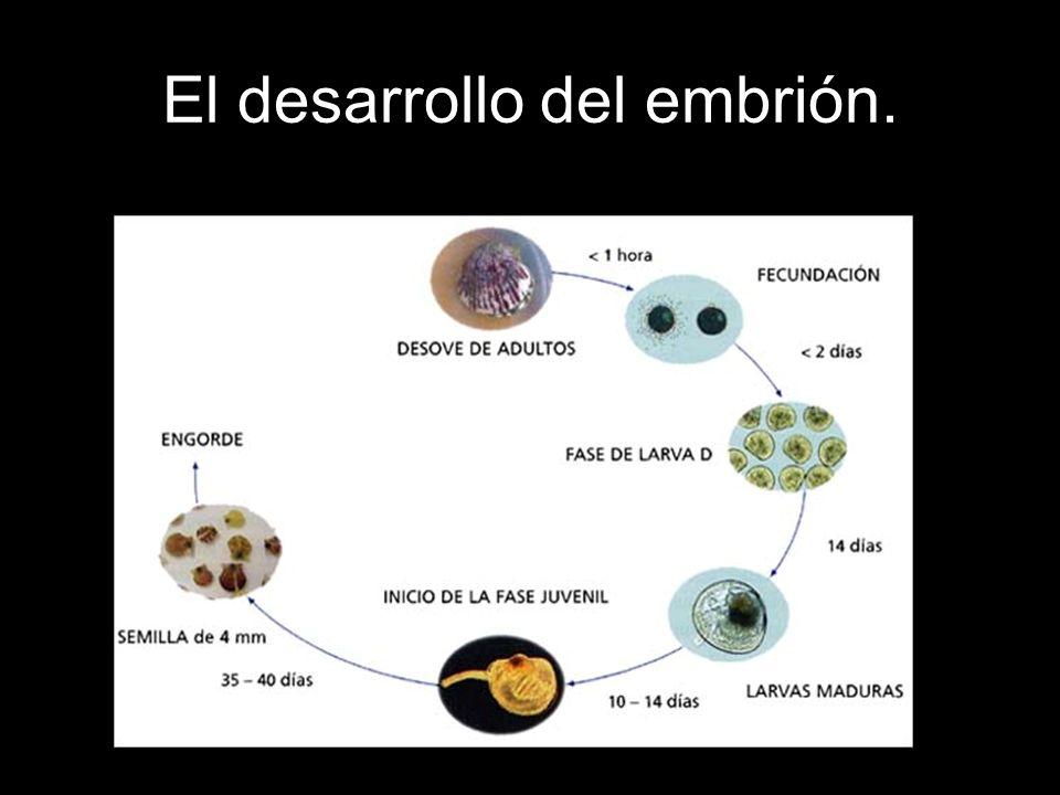 Podemos encontrar dos tipos de desarrollos embrionarios en los animales: Ovíparos: El cigoto se convierte en un embrión dentro de un huevo.