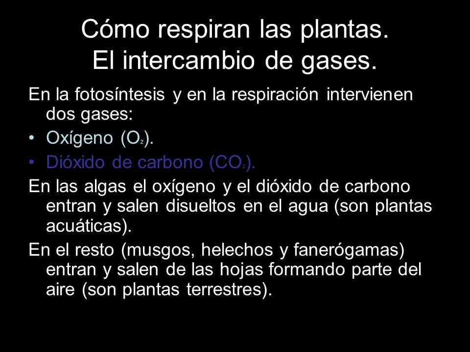 Cómo respiran las plantas. El intercambio de gases. En la fotosíntesis y en la respiración intervienen dos gases: Oxígeno (O 2 ). Dióxido de carbono (
