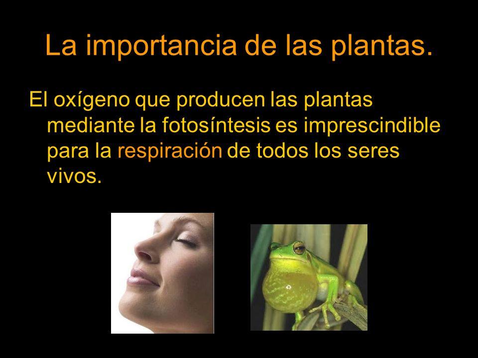 El oxígeno que producen las plantas mediante la fotosíntesis es imprescindible para la respiración de todos los seres vivos.
