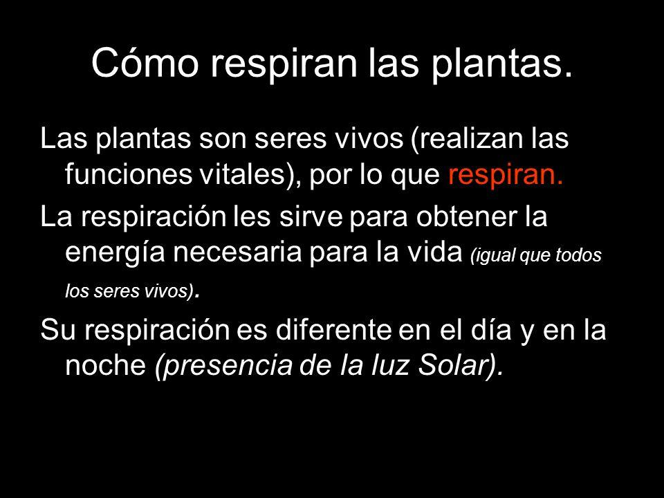Cómo respiran las plantas. Las plantas son seres vivos (realizan las funciones vitales), por lo que respiran. La respiración les sirve para obtener la