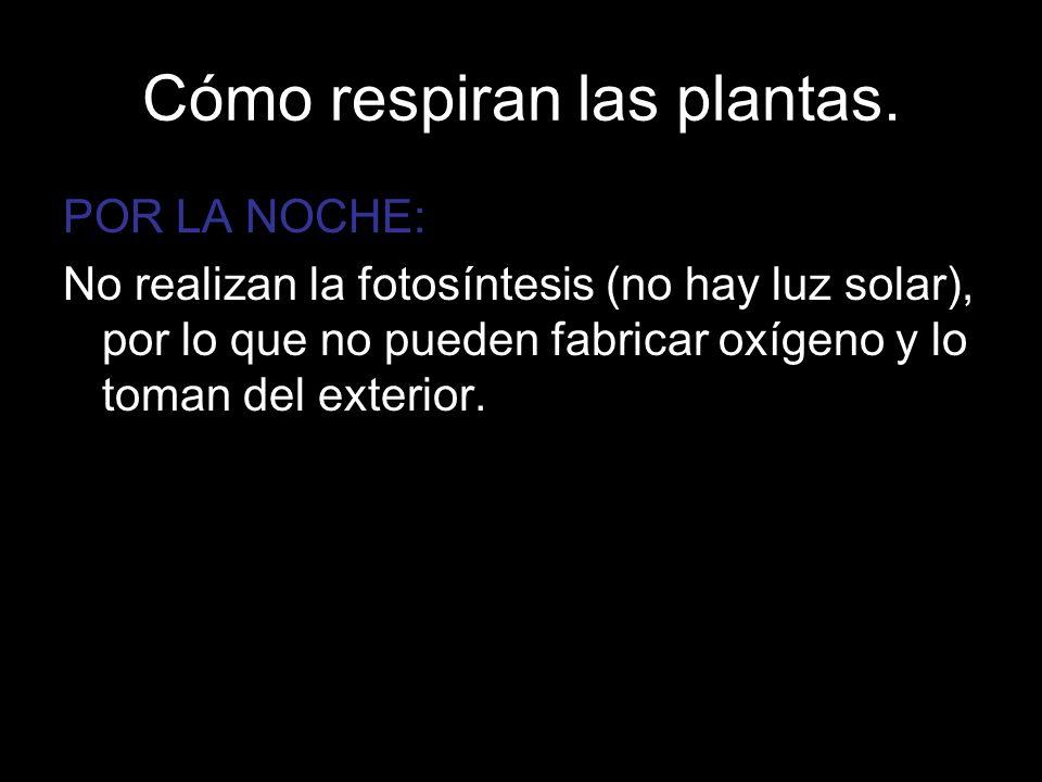 Cómo respiran las plantas. POR LA NOCHE: No realizan la fotosíntesis (no hay luz solar), por lo que no pueden fabricar oxígeno y lo toman del exterior