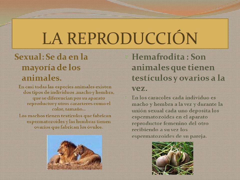 LA REPRODUCCIÓN Sexual: Se da en la mayoría de los animales. En casi todas las especies animales existen dos tipos de individuos,macho y hembra, que s