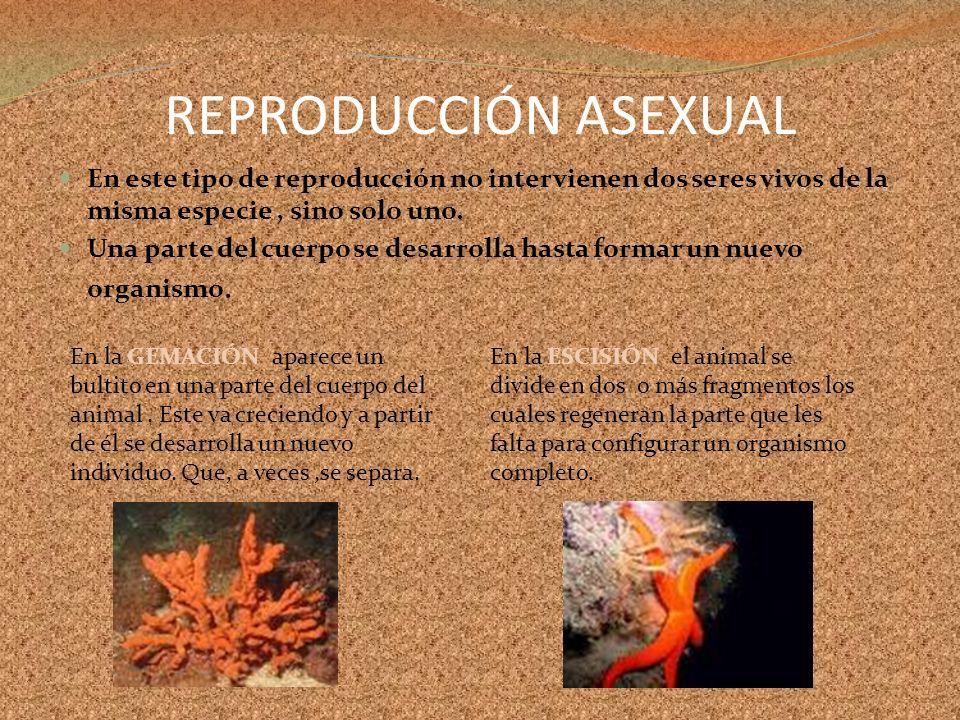REPRODUCCIÓN ASEXUAL En este tipo de reproducción no intervienen dos seres vivos de la misma especie, sino solo uno. Una parte del cuerpo se desarroll