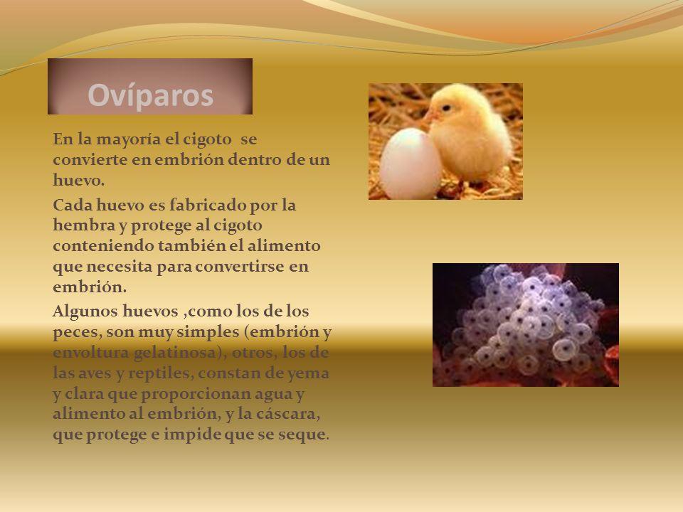 Ovíparos En la mayoría el cigoto se convierte en embrión dentro de un huevo. Cada huevo es fabricado por la hembra y protege al cigoto conteniendo tam
