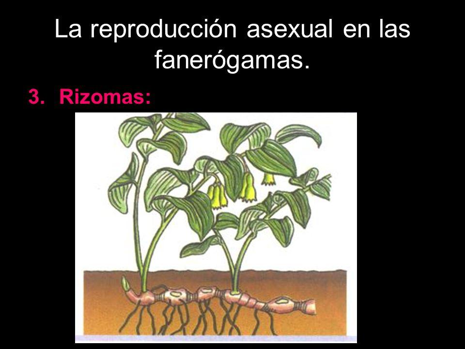 La reproducción asexual en las fanerógamas. 3.Rizomas: