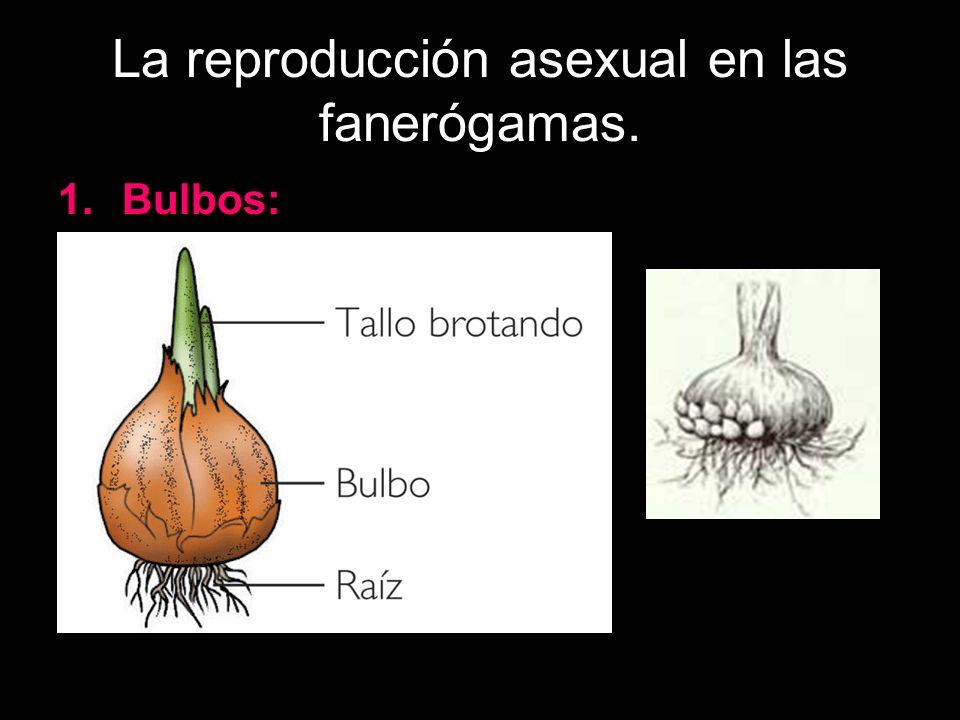 La reproducción asexual en las fanerógamas. 1.Bulbos: