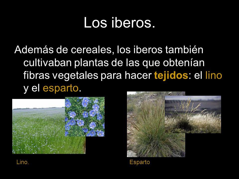 Los iberos. Además de cereales, los iberos también cultivaban plantas de las que obtenían fibras vegetales para hacer tejidos: el lino y el esparto. L