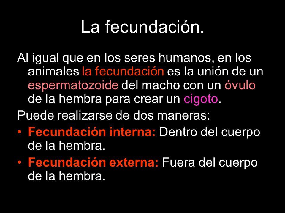 La fecundación. Al igual que en los seres humanos, en los animales la fecundación es la unión de un espermatozoide del macho con un óvulo de la hembra