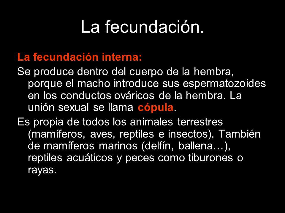 La fecundación. La fecundación interna: Se produce dentro del cuerpo de la hembra, porque el macho introduce sus espermatozoides en los conductos ovár