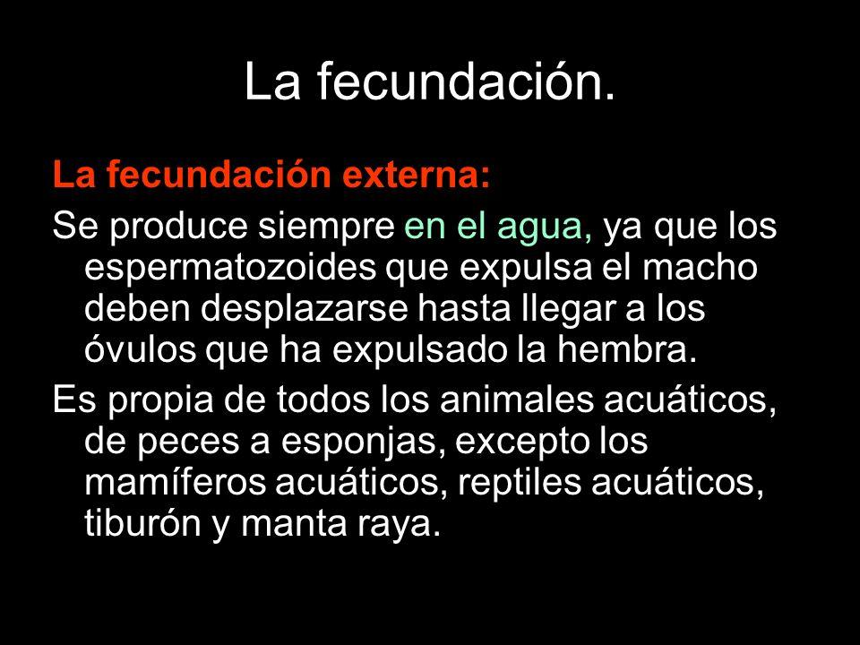 La fecundación. La fecundación externa: Se produce siempre en el agua, ya que los espermatozoides que expulsa el macho deben desplazarse hasta llegar