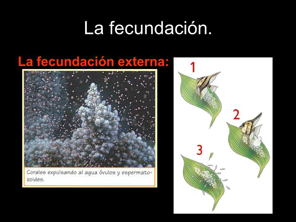 La fecundación externa: