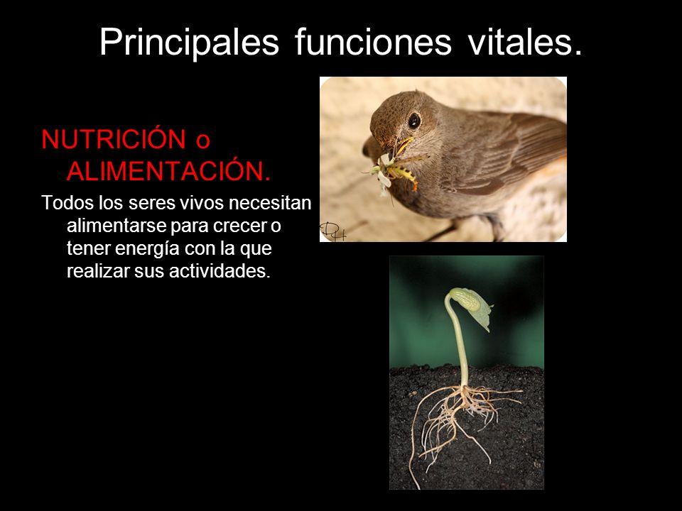 Principales funciones vitales. NUTRICIÓN o ALIMENTACIÓN. Todos los seres vivos necesitan alimentarse para crecer o tener energía con la que realizar s