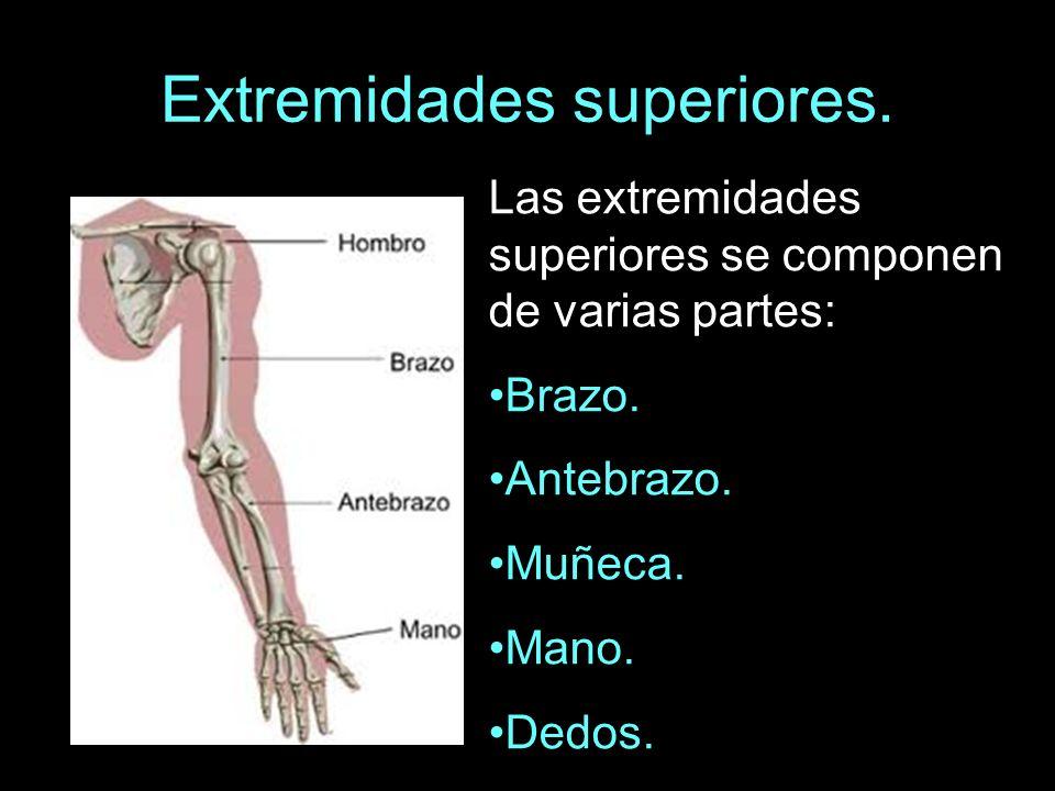 Las extremidades superiores se componen de varias partes: Brazo. Antebrazo. Muñeca. Mano. Dedos.