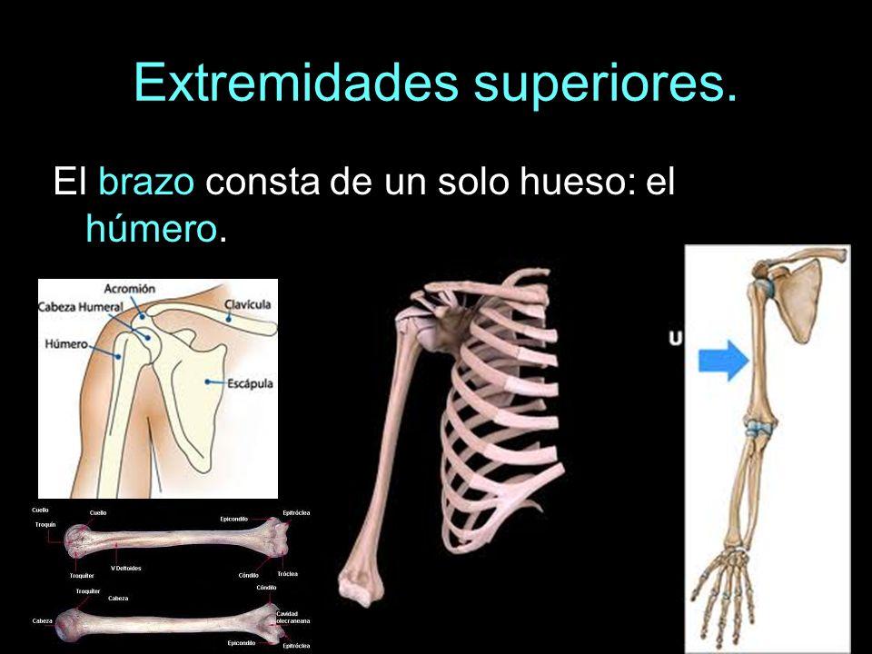 Extremidades superiores. El brazo consta de un solo hueso: el húmero.
