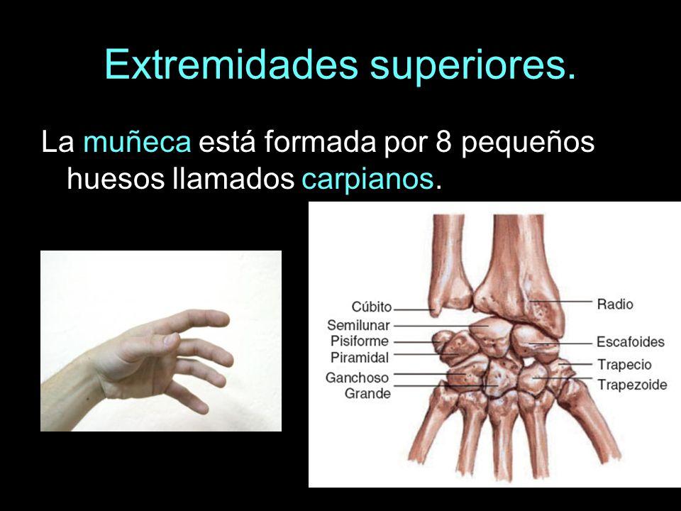 Extremidades superiores. La muñeca está formada por 8 pequeños huesos llamados carpianos.