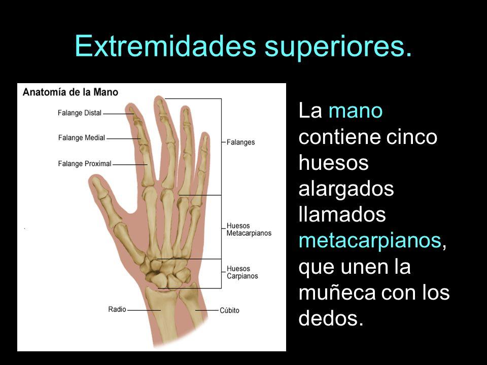 Extremidades superiores. La mano contiene cinco huesos alargados llamados metacarpianos, que unen la muñeca con los dedos.