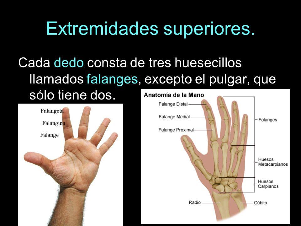 Extremidades superiores. Cada dedo consta de tres huesecillos llamados falanges, excepto el pulgar, que sólo tiene dos.