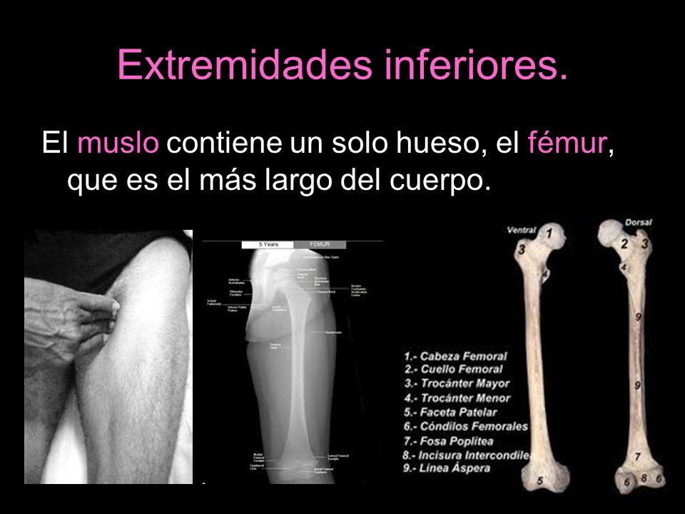 Extremidades inferiores. El muslo contiene un solo hueso, el fémur, que es el más largo del cuerpo.
