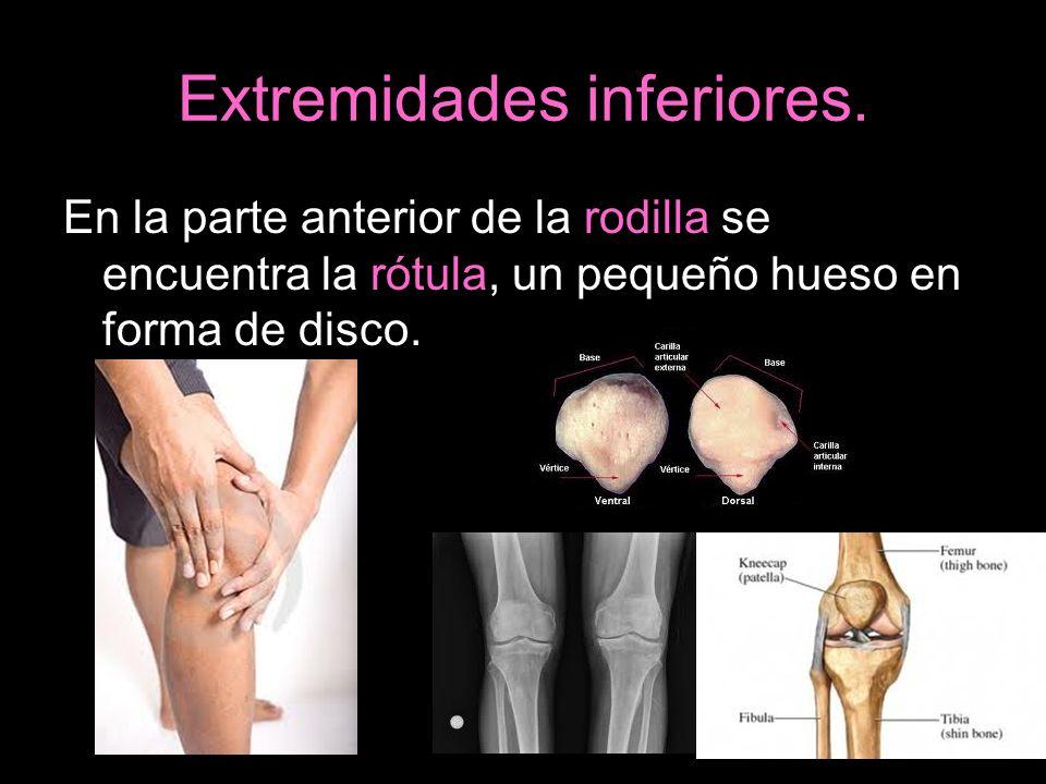 Extremidades inferiores. En la parte anterior de la rodilla se encuentra la rótula, un pequeño hueso en forma de disco.