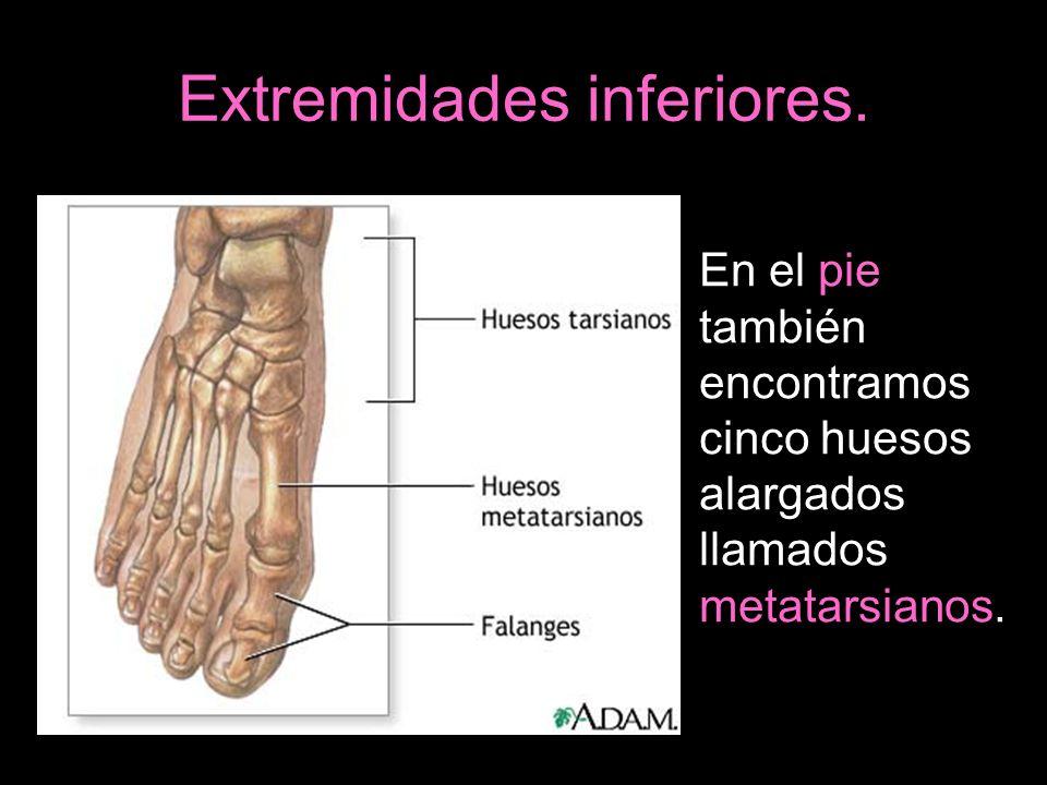 Extremidades inferiores. En el pie también encontramos cinco huesos alargados llamados metatarsianos.