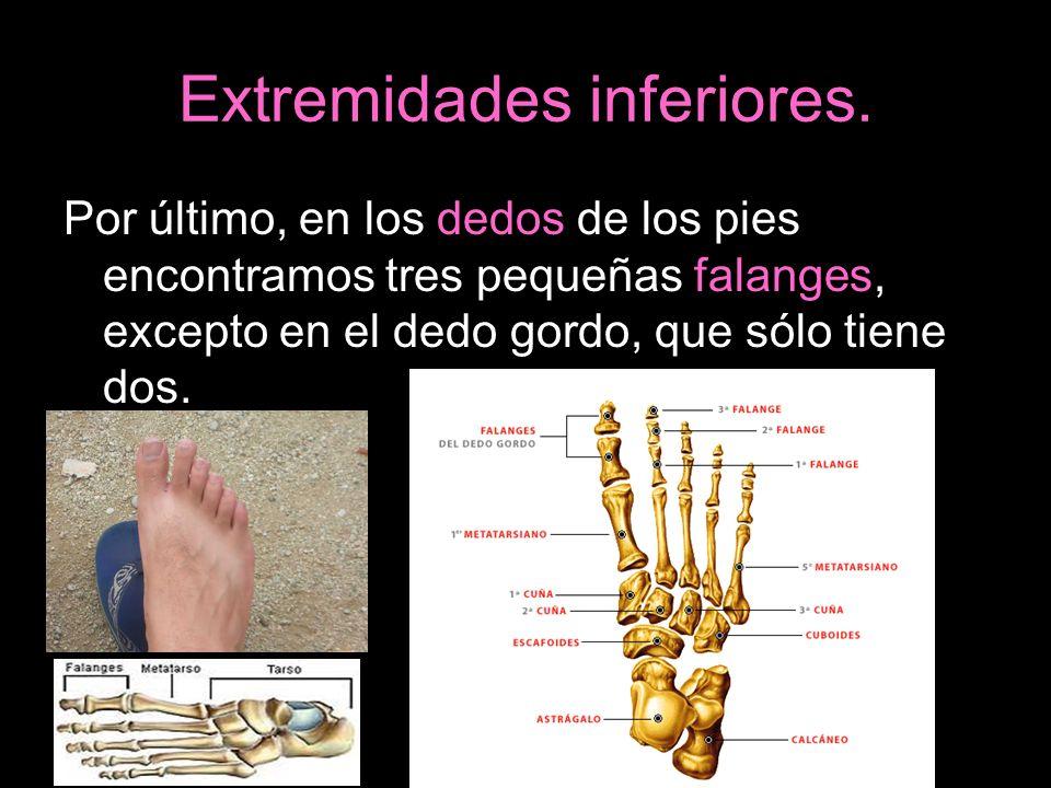 Extremidades inferiores. Por último, en los dedos de los pies encontramos tres pequeñas falanges, excepto en el dedo gordo, que sólo tiene dos.