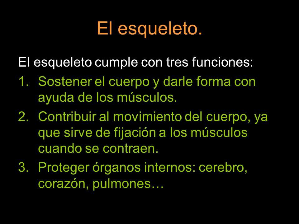 El esqueleto. El esqueleto cumple con tres funciones: 1.Sostener el cuerpo y darle forma con ayuda de los músculos. 2.Contribuir al movimiento del cue