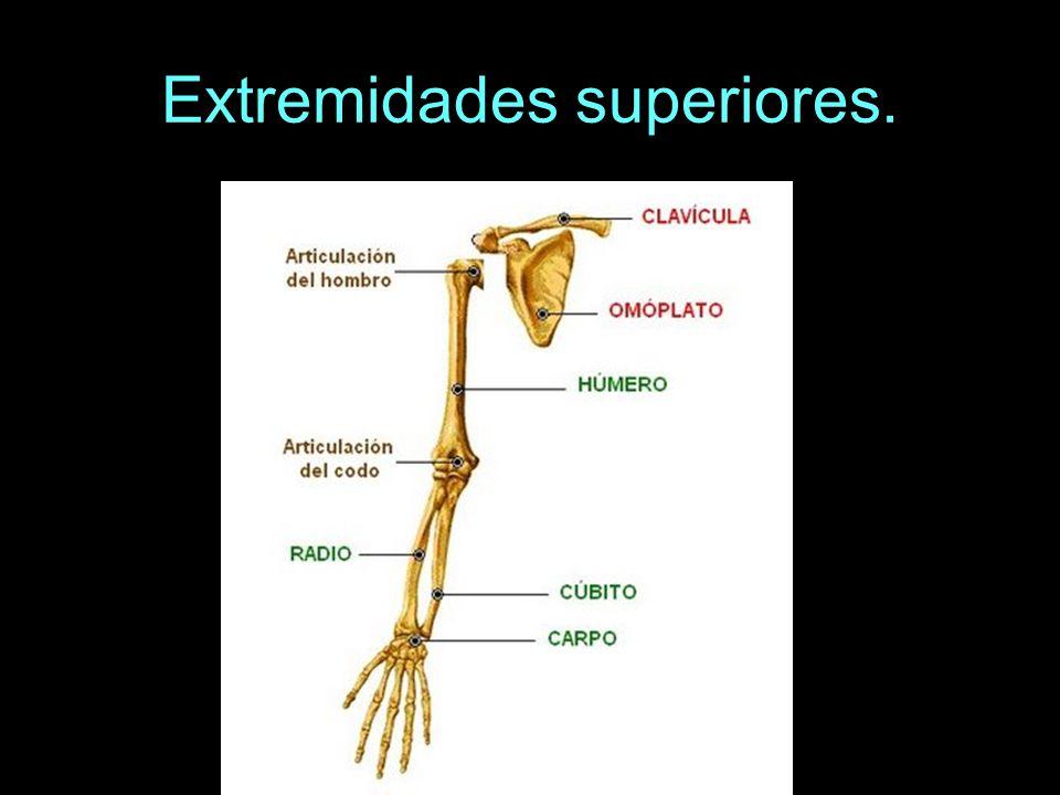 La pelvis consta de tres huesos principales: dos coxales delante y el sacro detrás, que pertenece a la columna vertebral.