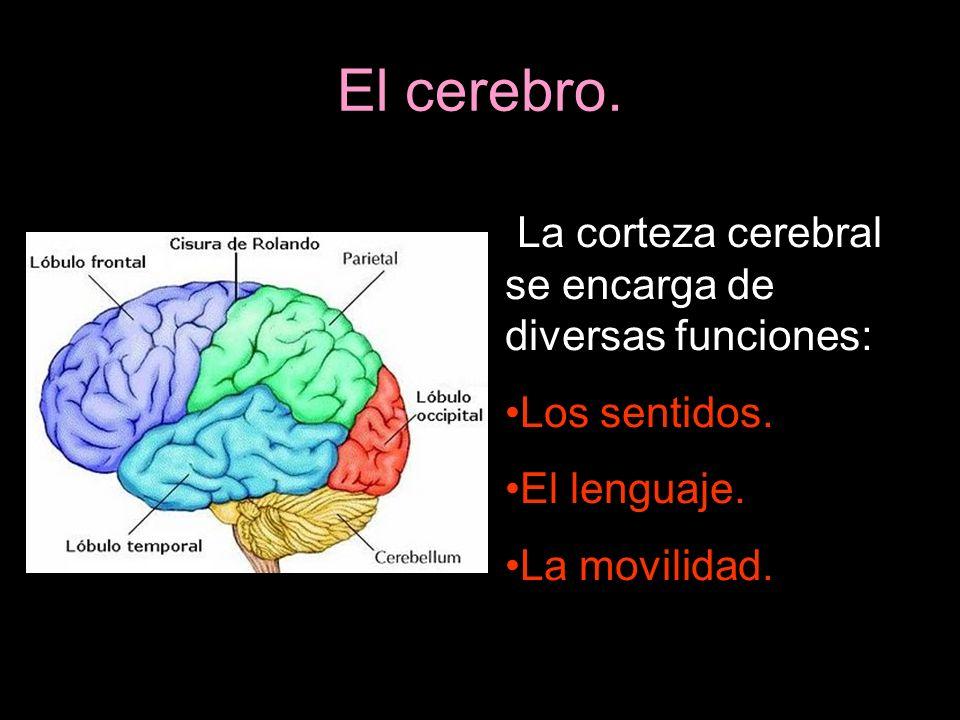 La corteza cerebral se encarga de diversas funciones: Los sentidos. El lenguaje. La movilidad.