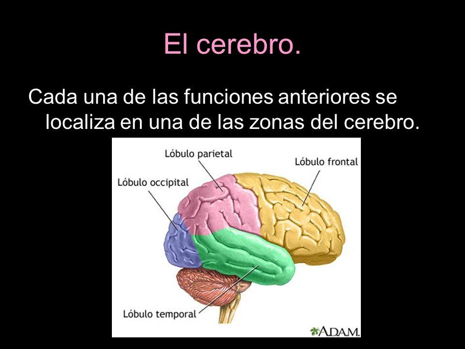 Cada una de las funciones anteriores se localiza en una de las zonas del cerebro.