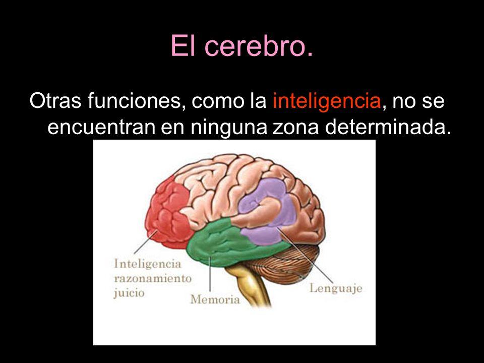 El cerebro. Otras funciones, como la inteligencia, no se encuentran en ninguna zona determinada.